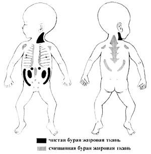 ЖИР - ЖИРОВАЯ ТКАНЬ - Распределение бурой жировой ткани у новорожденного